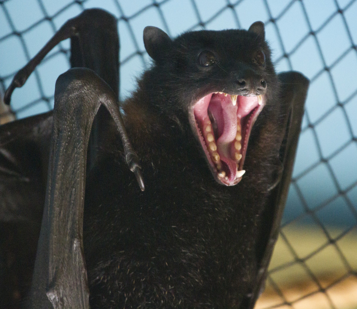 This bat is providing some negative feedback to the person who is cornering him by baring his fangs.  Back off and give the bat some room.