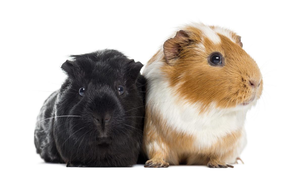 guinea-pig-name-ideas