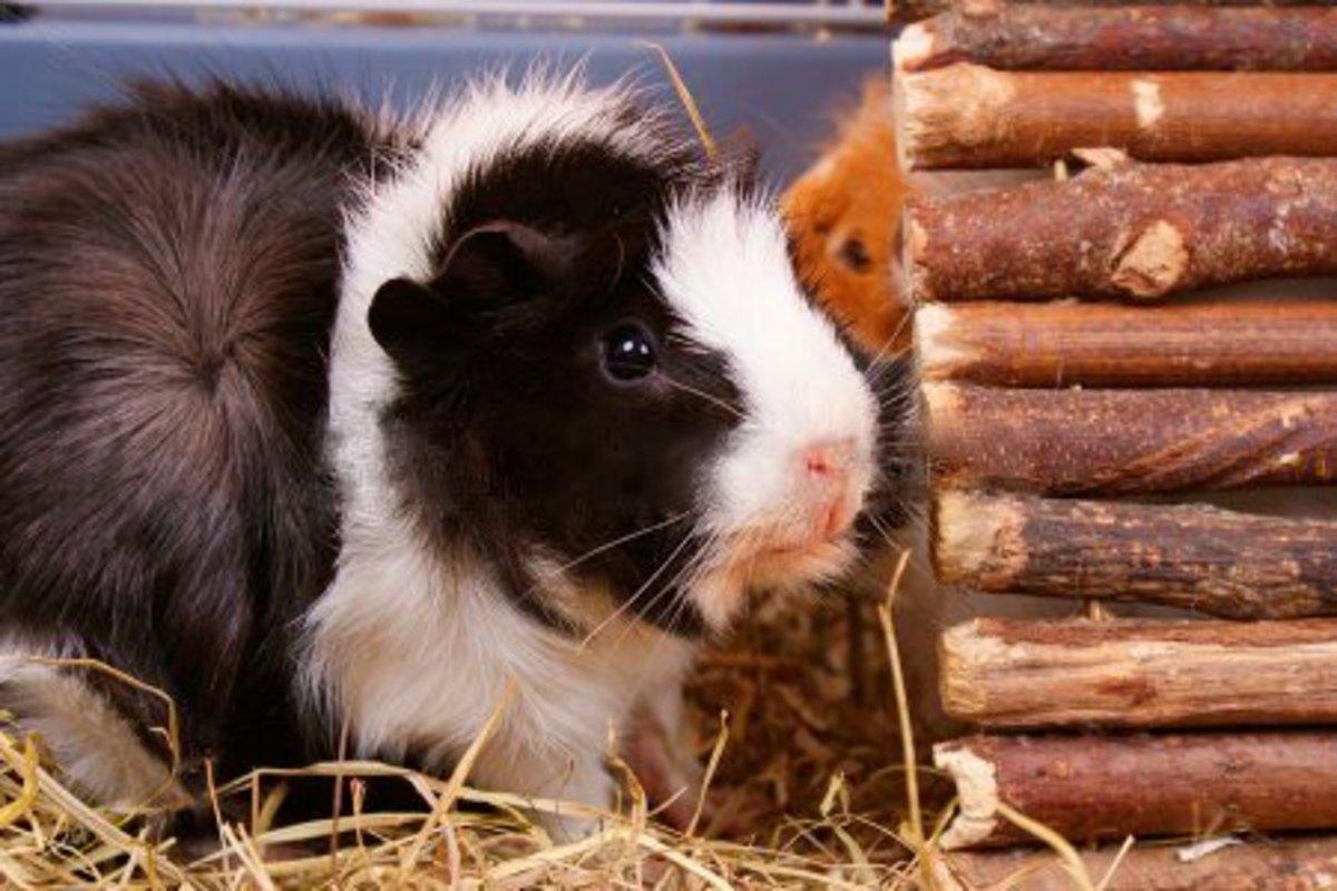 A fluffy Sylvester.