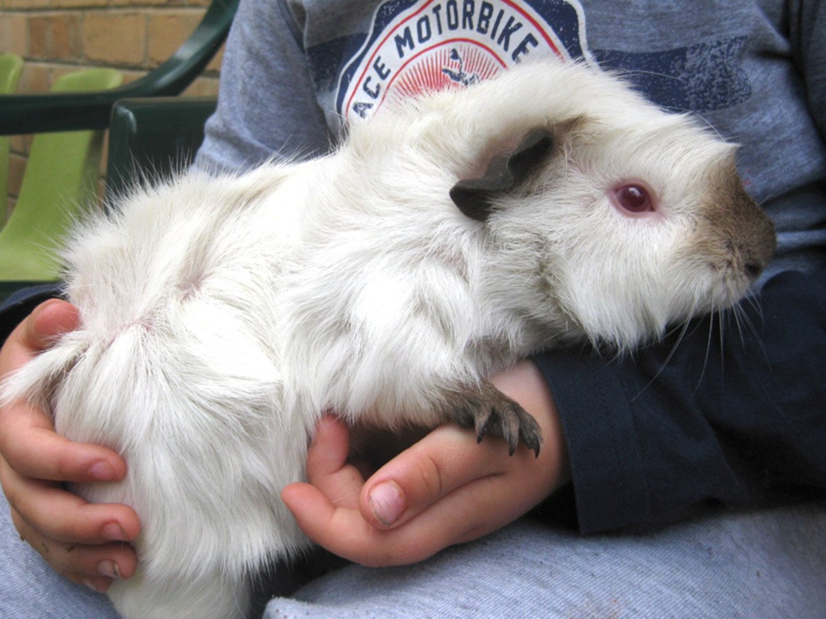 About Abyssinian Guinea Pigs - Care Guide, Breeds, Fur ... - photo#47