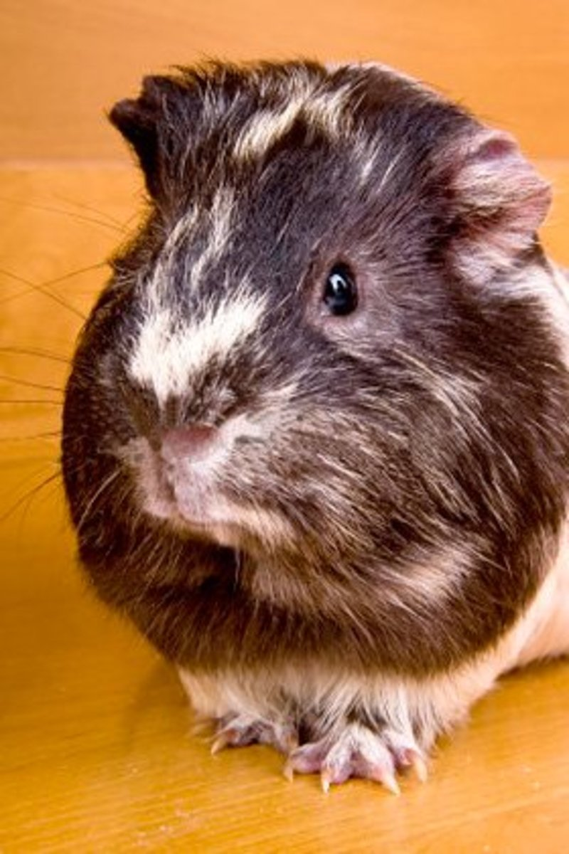 This guinea pig looks like it could be called Tom Piggy or Trevor.