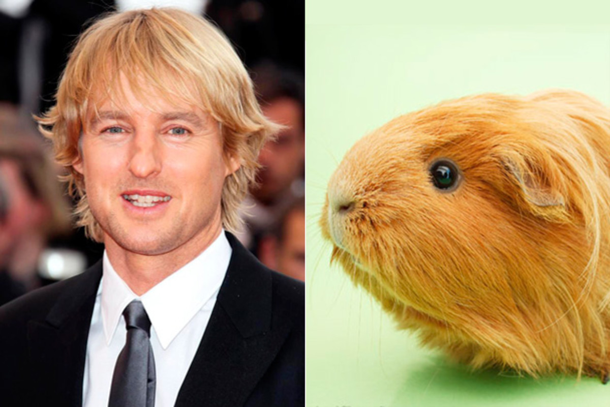 Owen Wilson's lookalike guinea pig lives up to its name!