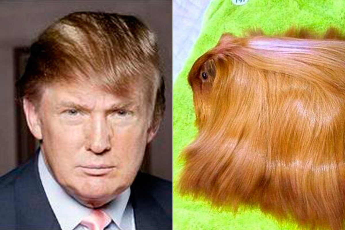 "A Donald Trump lookalike - notice the attention to the shiny, combover hair. Luckily the guinea pig won't be able to ""fire"" its owner!"
