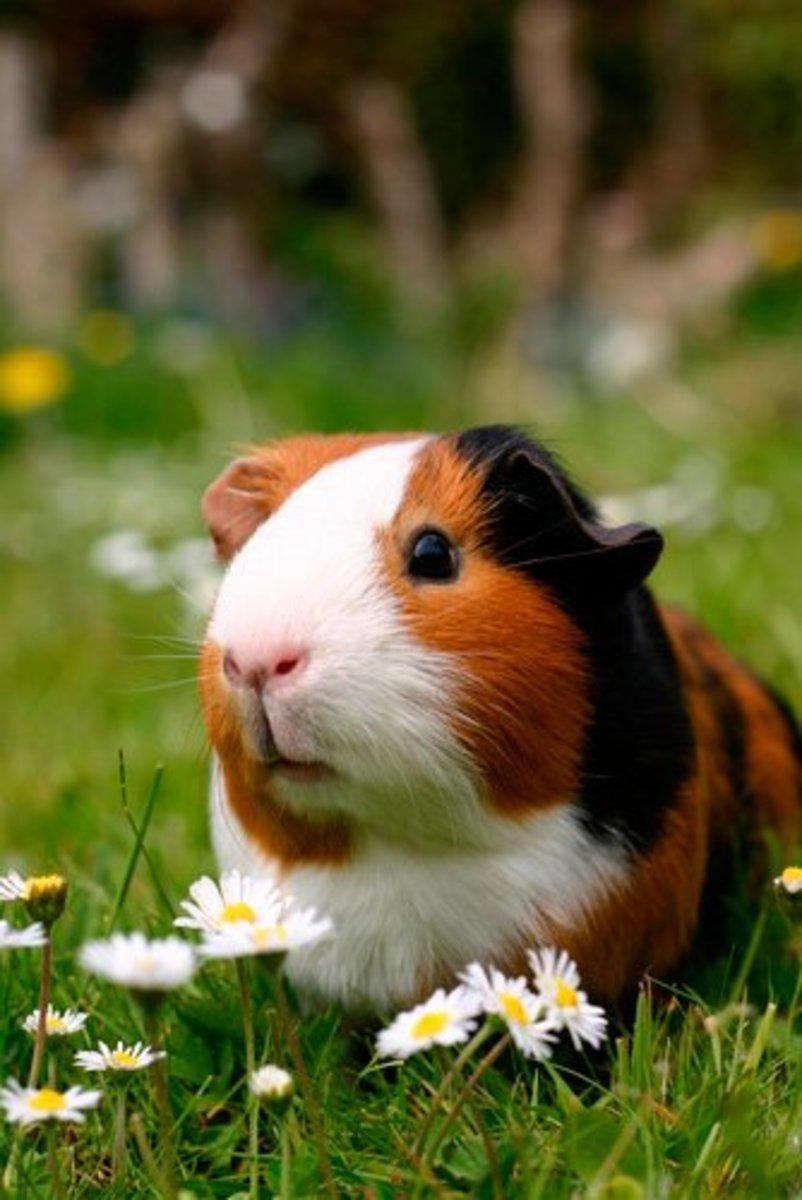 A tangerine-coloured guinea pig.