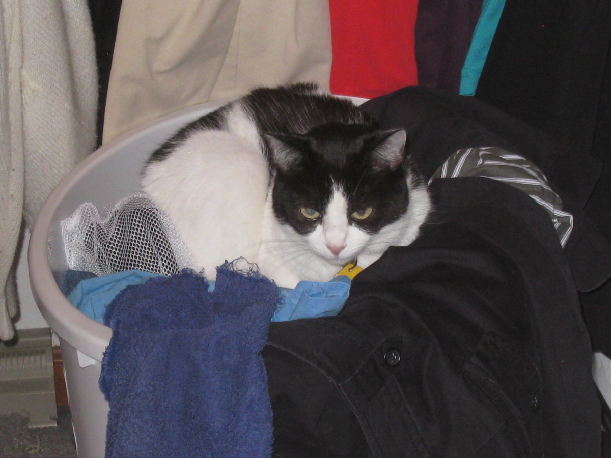 Hiding in the laundry basket won't get you out of going to the vet, Candy!