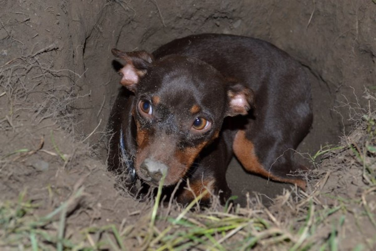 Tallulah-Belle, guarding her hidee-hole that she dug up in the backyard