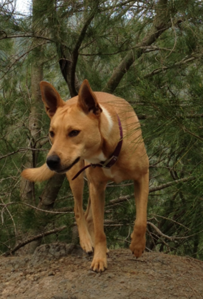 It took me two years to realize that my dog, pictured above, looks like a dingo because she is a dingo.