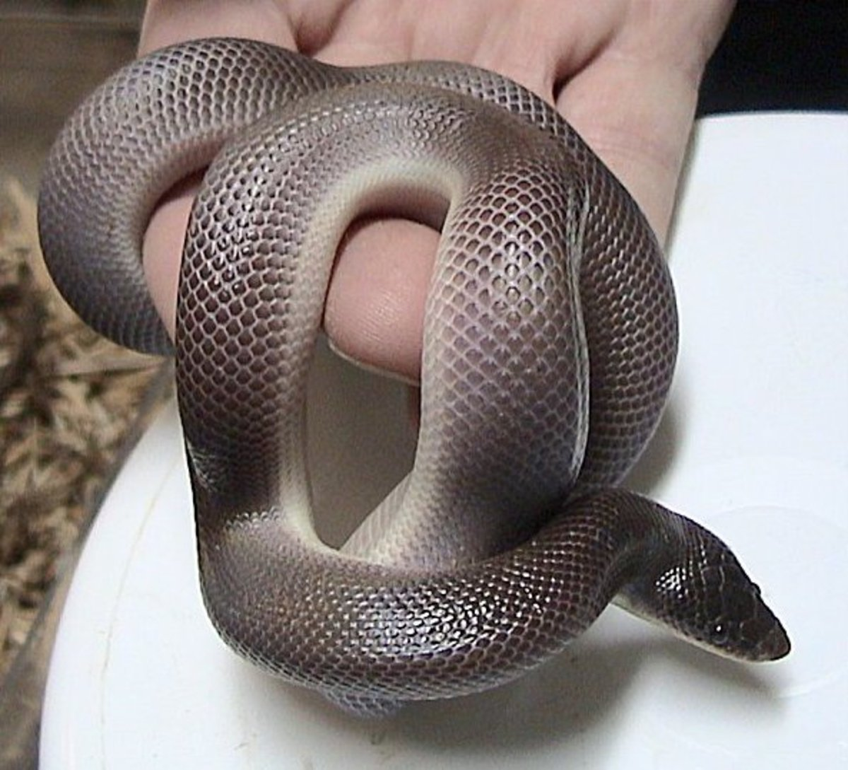 14 Species Of Boas And Pythons Amazing Constricting
