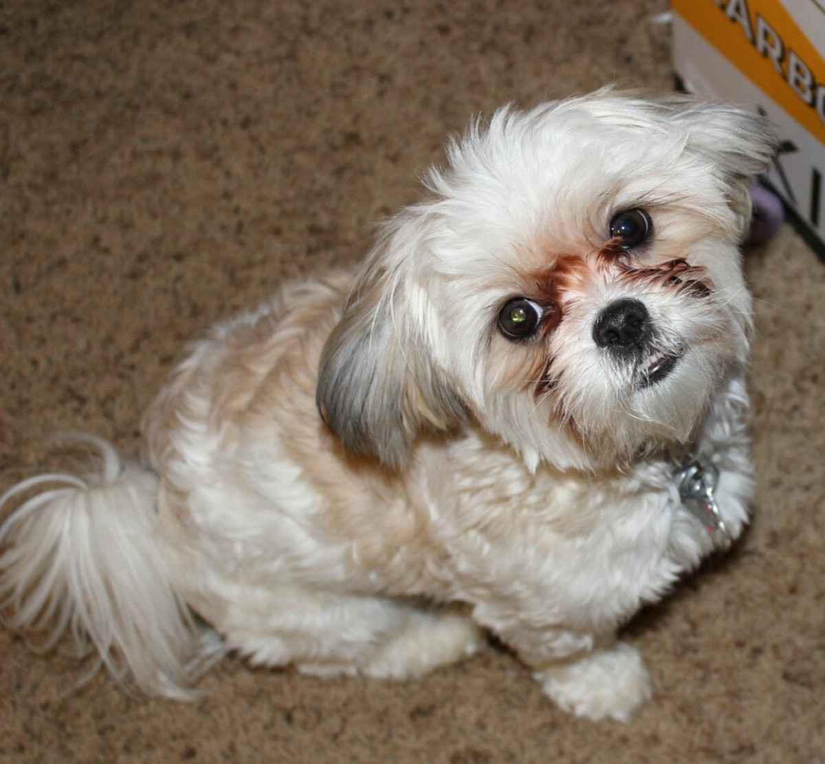 Malshi (cross of Maltese and Shih Tzu) at 1 year old adult size