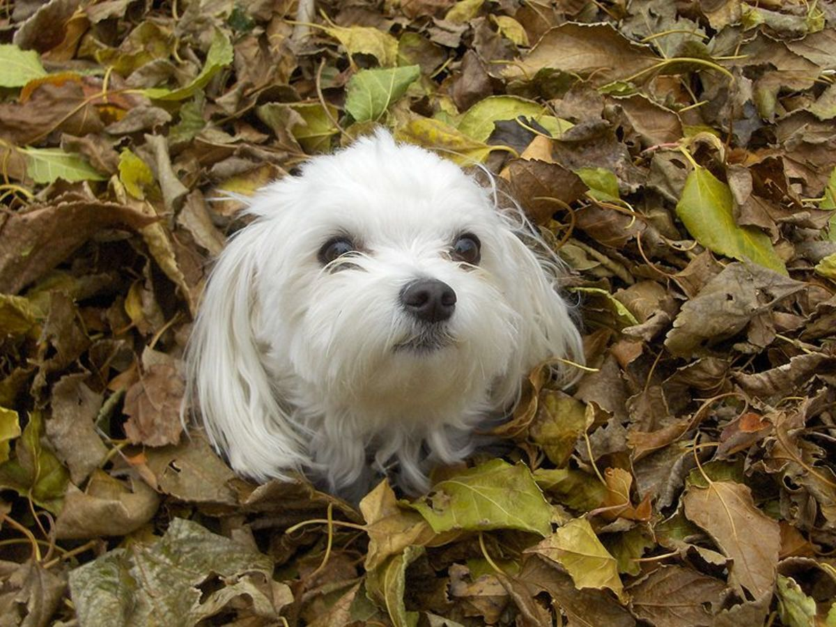 Purebred Maltese Dog- Malshi crosses get the white fur, black eyes, and black nose from their Maltese parent.