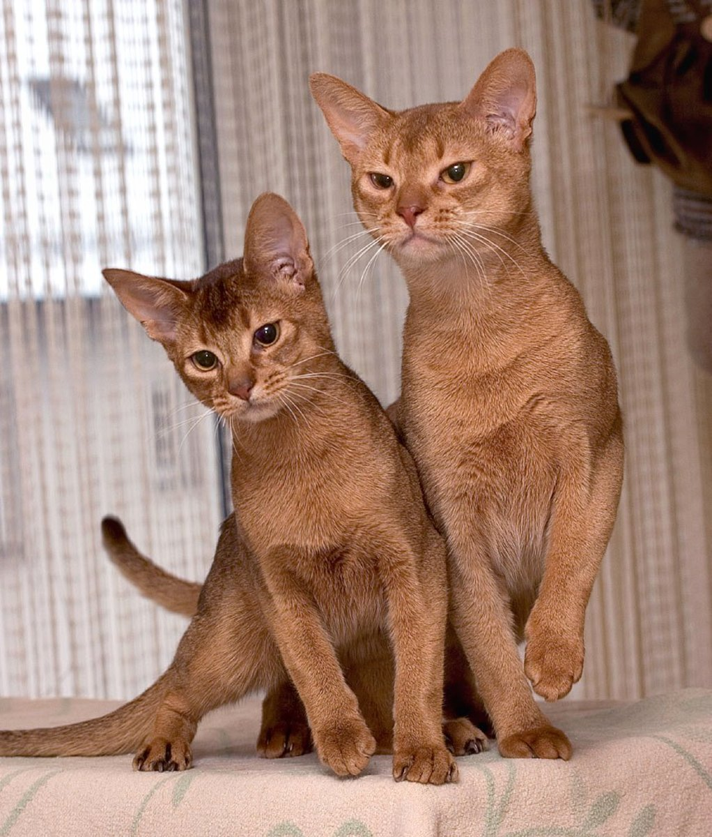"The Abyssinian can be recognized by its ""ticked"" tabby coat."