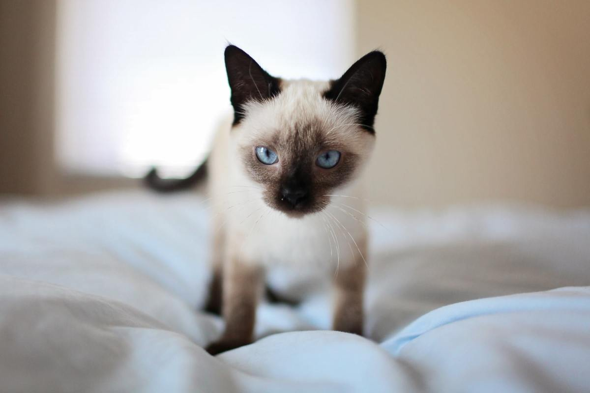 Siamese cats are very vocal, so if you choose to own one, be prepared for noise!