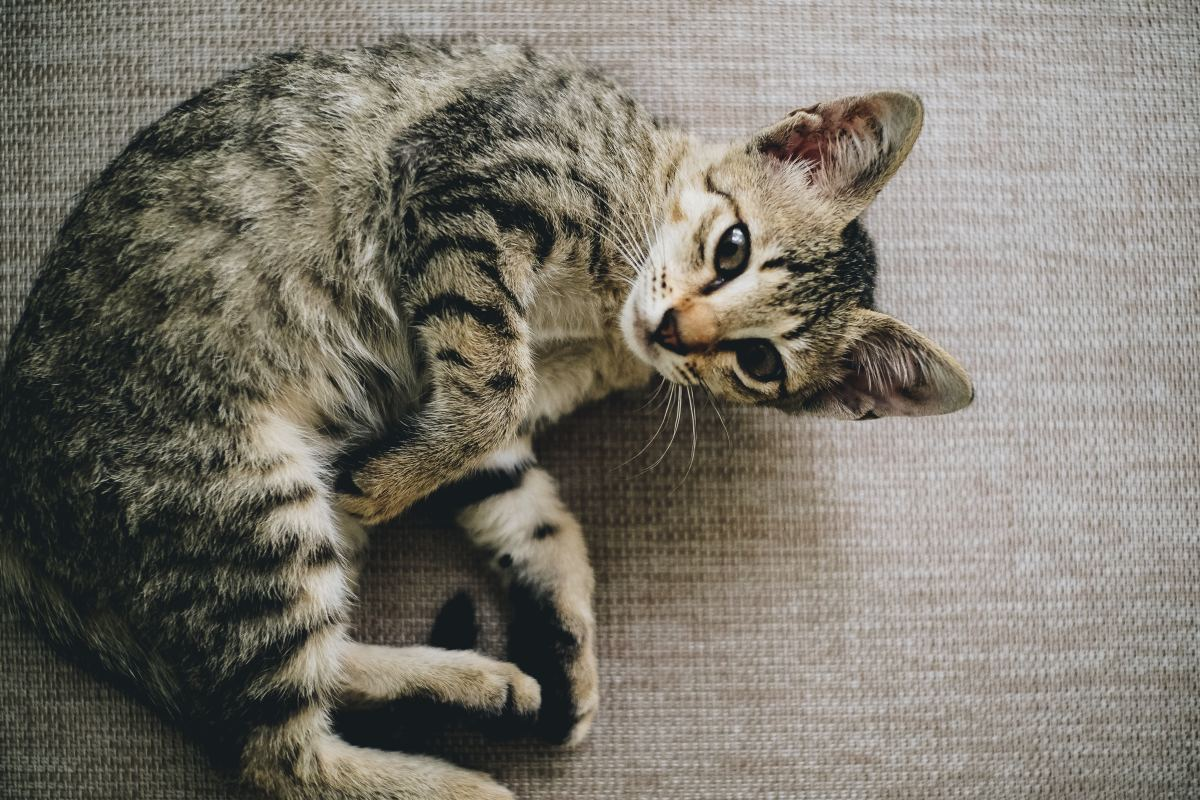 A plus of owning a shorthair cat is that less maintenance and grooming is required to keep your pet clean.