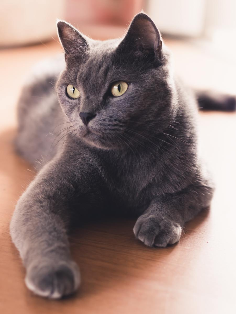 People believe that Russian blue cats originate from northern Russia, hence their name.