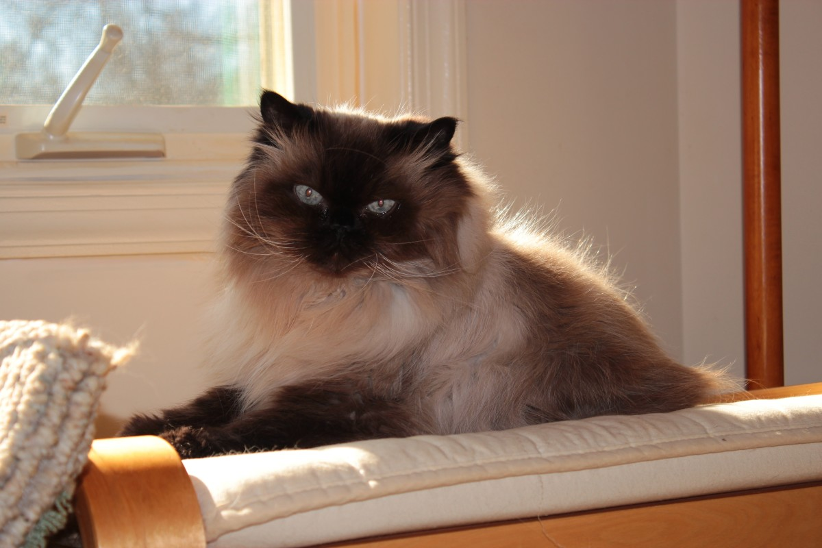 Male Sealpoint Himalayan Cat