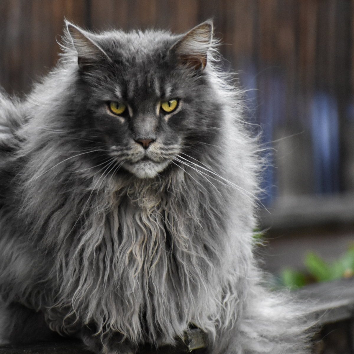 Longhair cats need to be combed often to prevent knots and hairballs.
