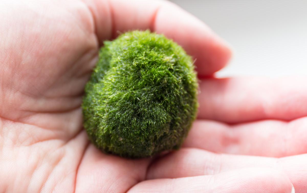 Despite their name, moss balls are actually squishy balls of algae.