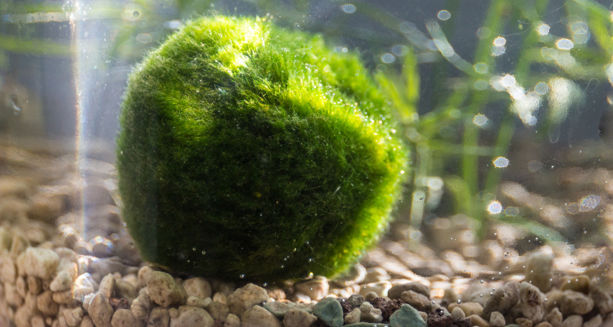Your moss ball will thrive with basic maintenance.