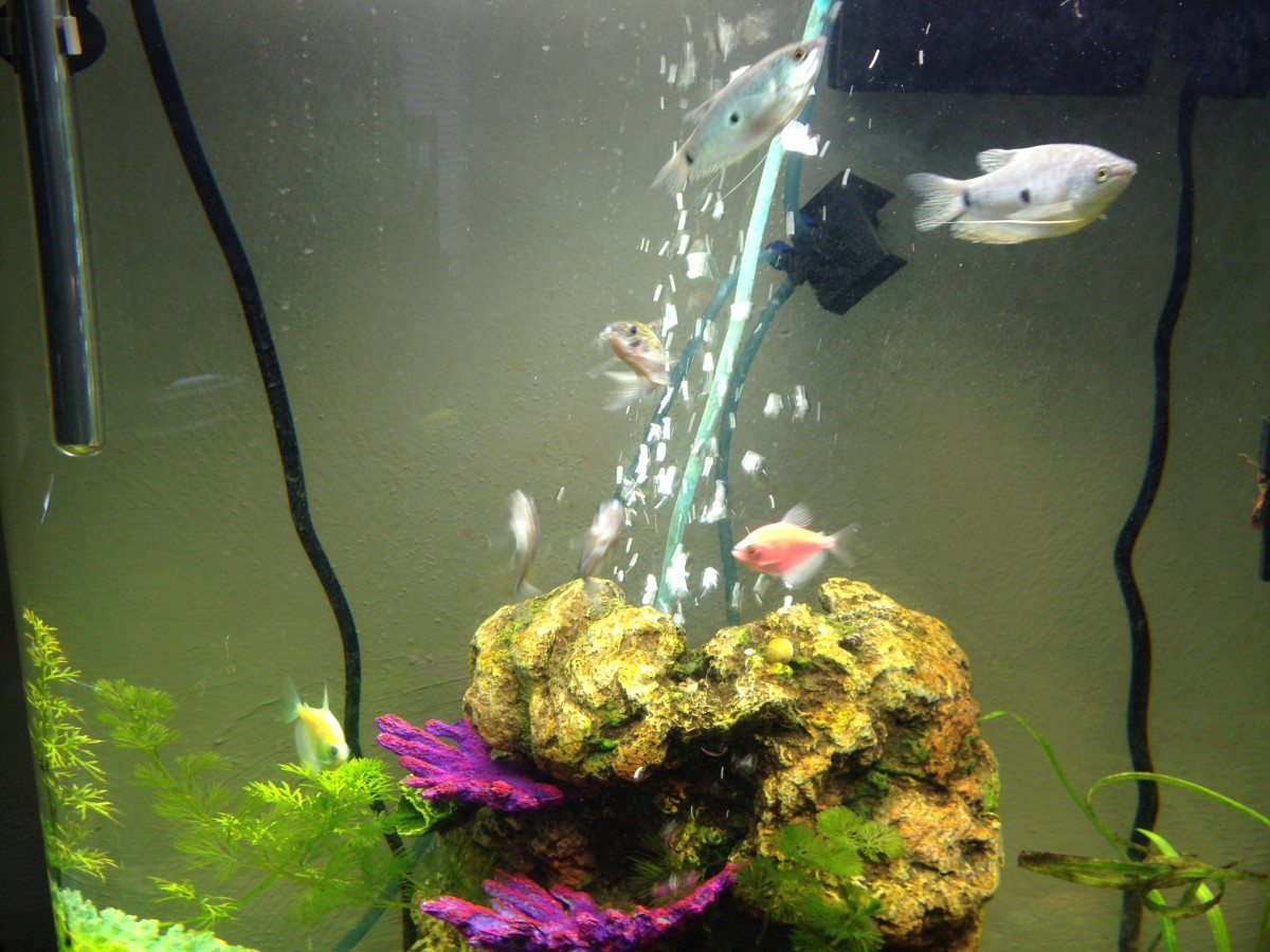 Larger tetras can be housed with different species of gourami