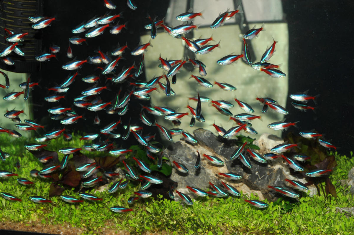 The ever-popular neon tetra in an impressively sized school.