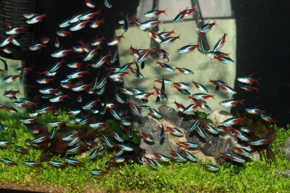 popular home aquarium fish tetras pethelpful