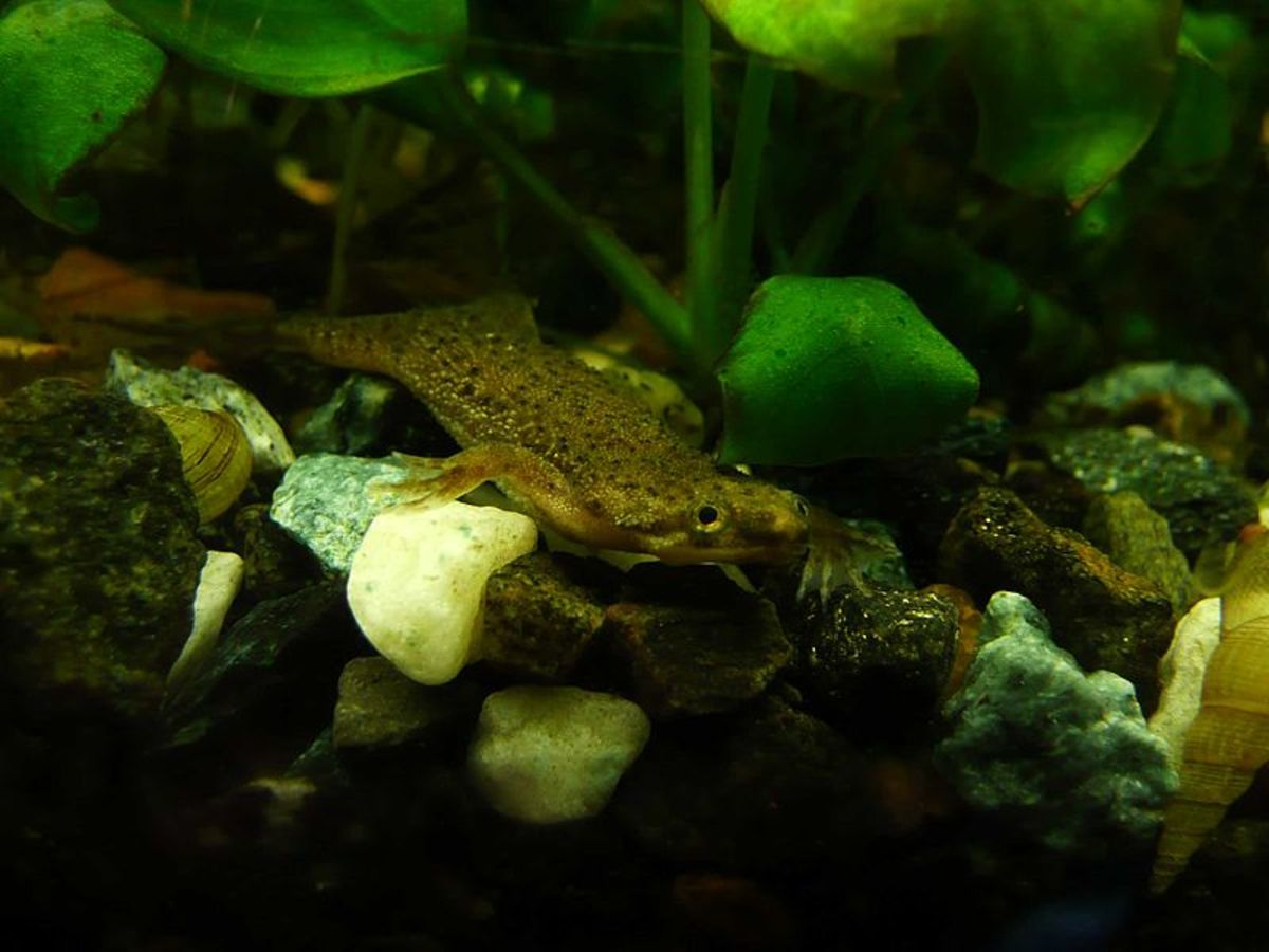 The African Dwarf Frog is a fun critter to keep in a small tank.