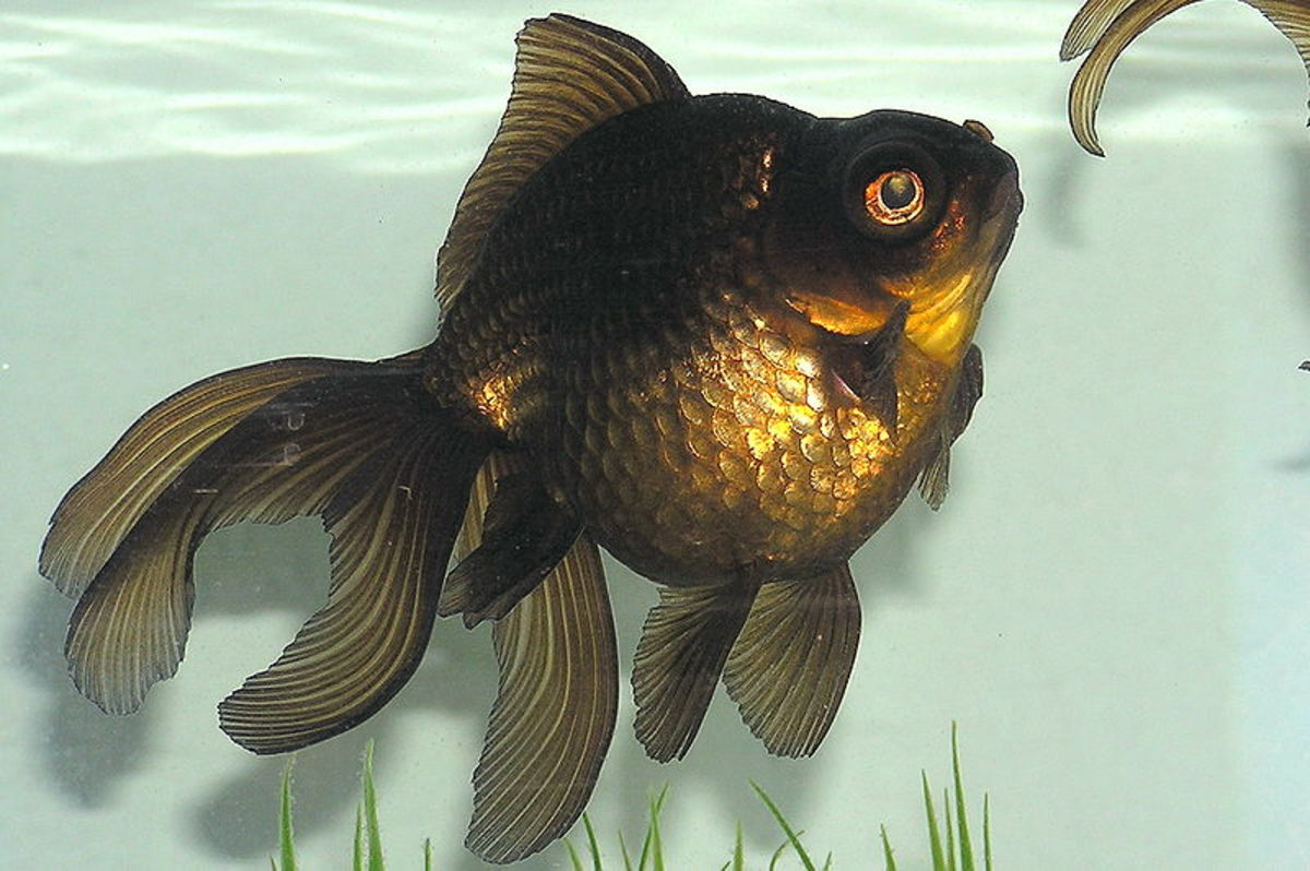 Goldfish grow much larger than many people realize and are not a good option for small tanks or bowls.