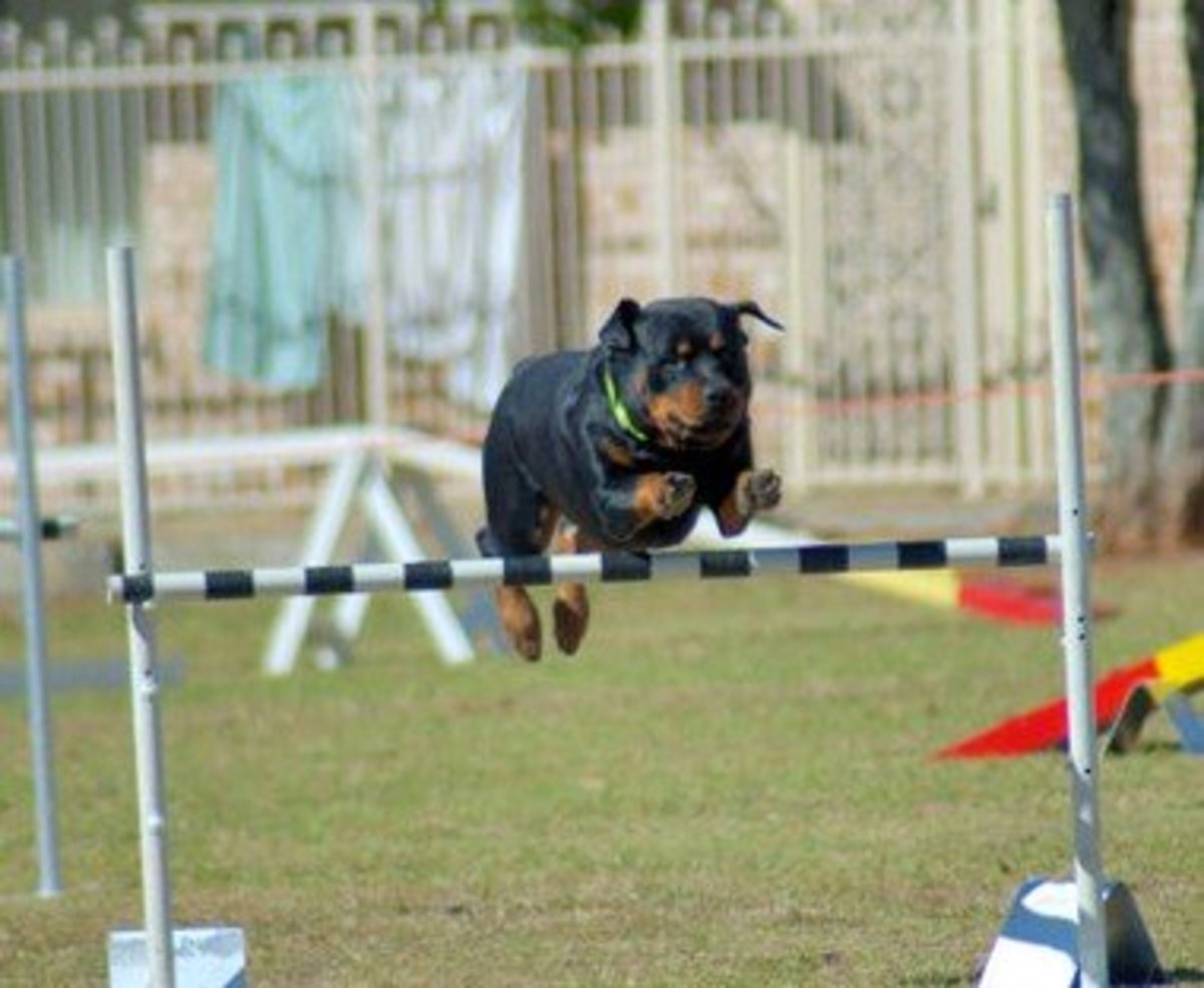 There's a reason why trainers post age limits on when to start agility.