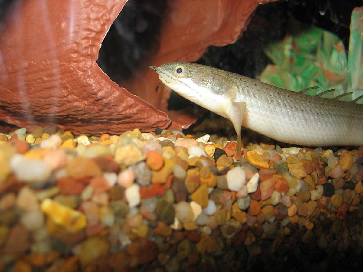 intermediate-level-freshwater-fish