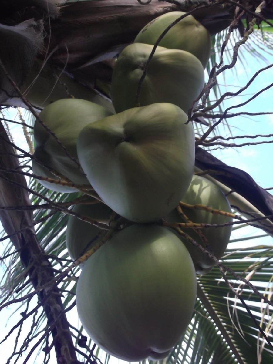 Coconuts for milk replacer should be harvested green, when the liquid is still neutral