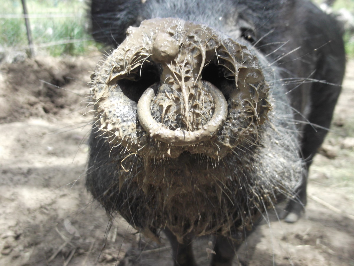 Does getting the ring out of a pig's nose hurt as much as putting it in? Our latest addition to the pigpen came with a ring her nose. I'd have it removed, but it would probably require a general anaesthetic and a big vet bill.
