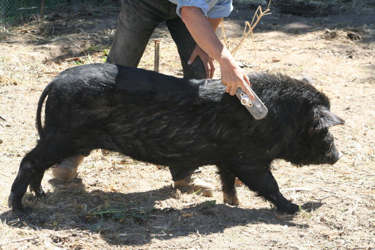 Mr Pig gets a regular brushing, and stretches out to express his delight. He's a miniature pig so brushing him doesn't take long.