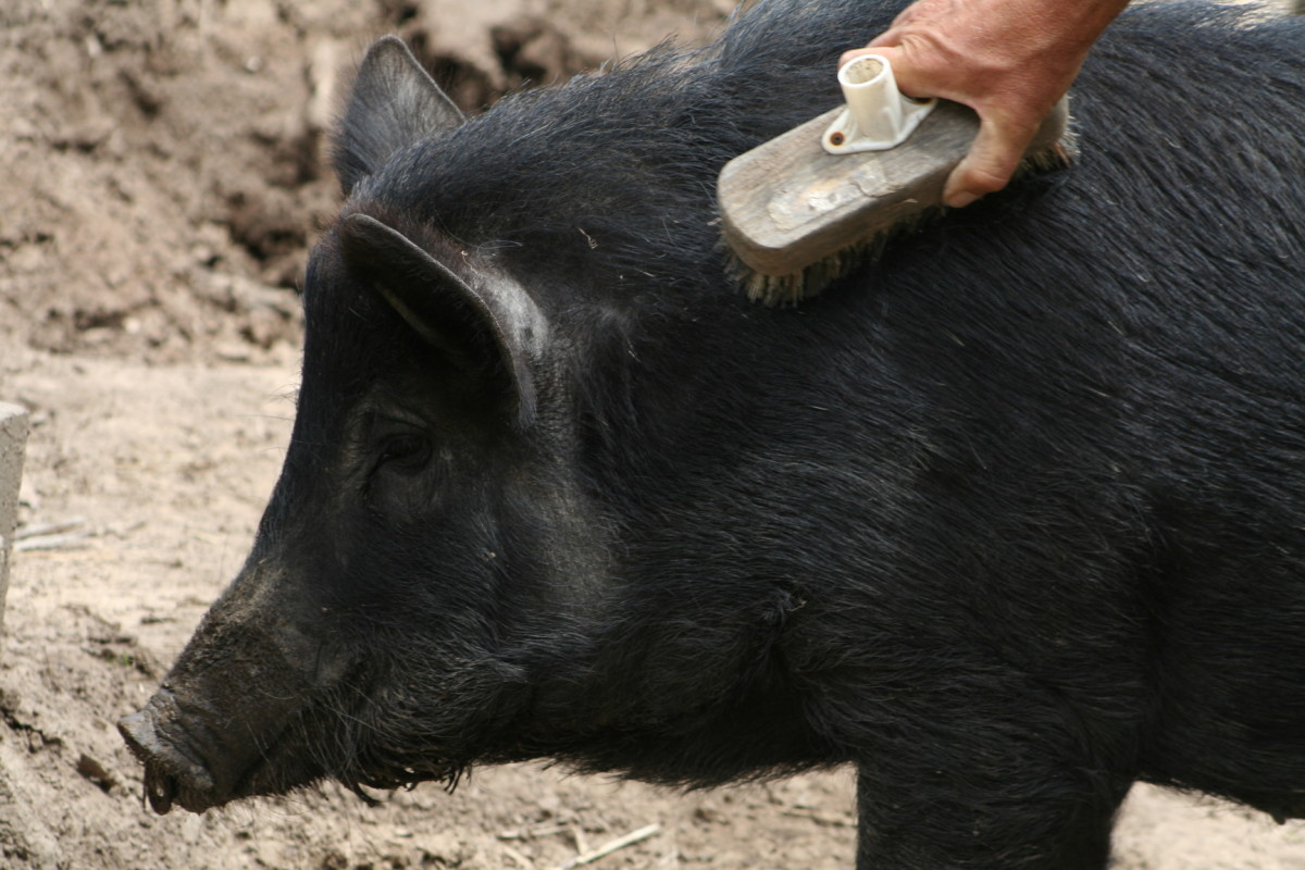 Regular brushing with an old broom is pig heaven.