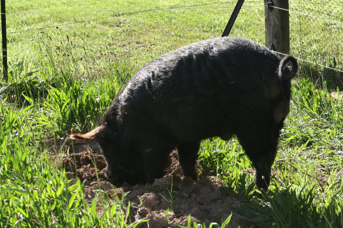 When introduced to a new area for digging, Mr Pig carefully chooses a spot to start work. A curly tail is a sign of a happy pig. Mr Pig is obviously happy. :)