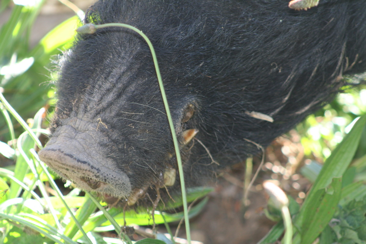 At four years old, Mr Pig has tusks. He has clearly been an active member of a family in the past, however, because he is not at all aggressive - even now that he is well-fed and strong.