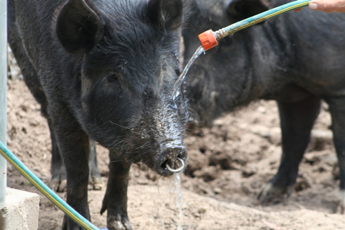 Pigs love to cool down on a hot day. I worry about how hot the ring in the sow's nose must get on a hot sunny day.