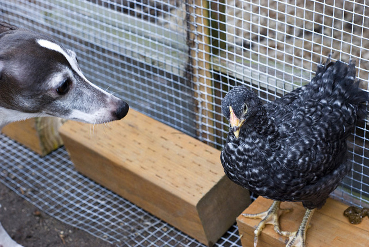 An Italian Greyhound checks out a chicken. Not all sighthounds will go after chickens...well, as long as they do not move.