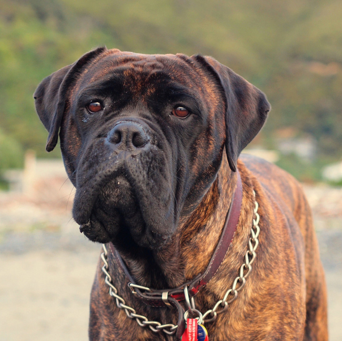 An adult bullmastiff.