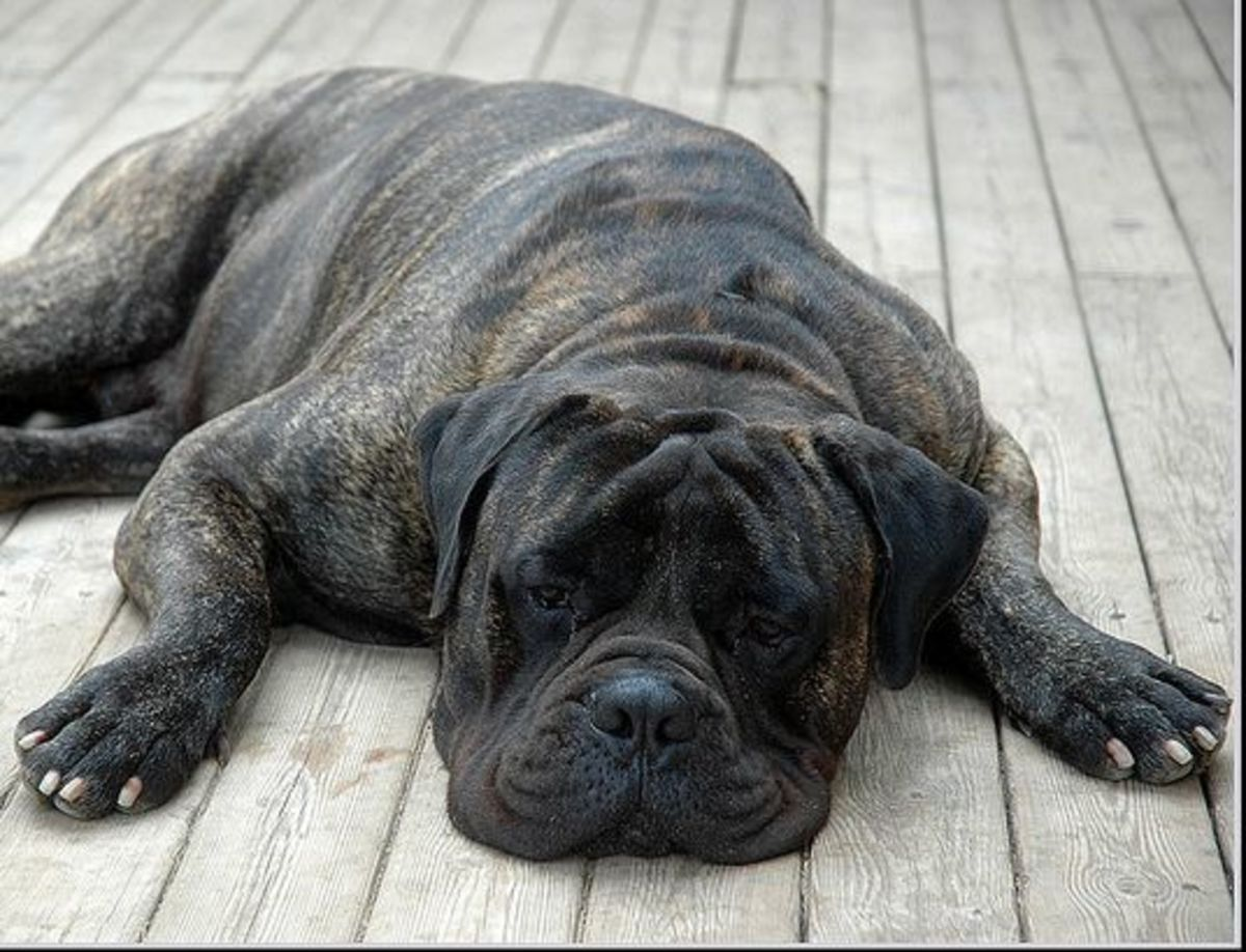 A bullmastiff at rest.