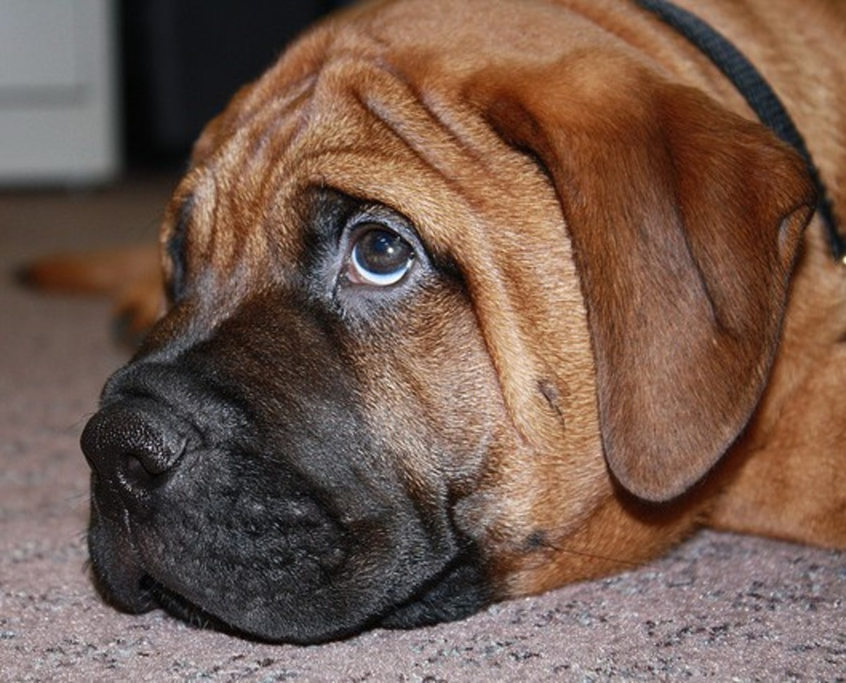 "A bullmastiff giving those ""puppy dog"" eyes."