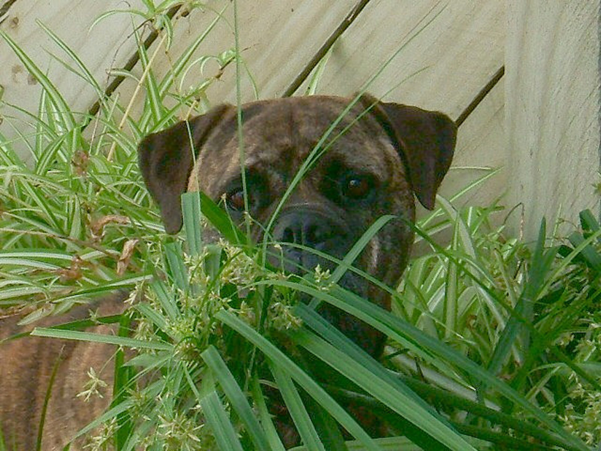 A brindle Bullmastiff blending into the background.