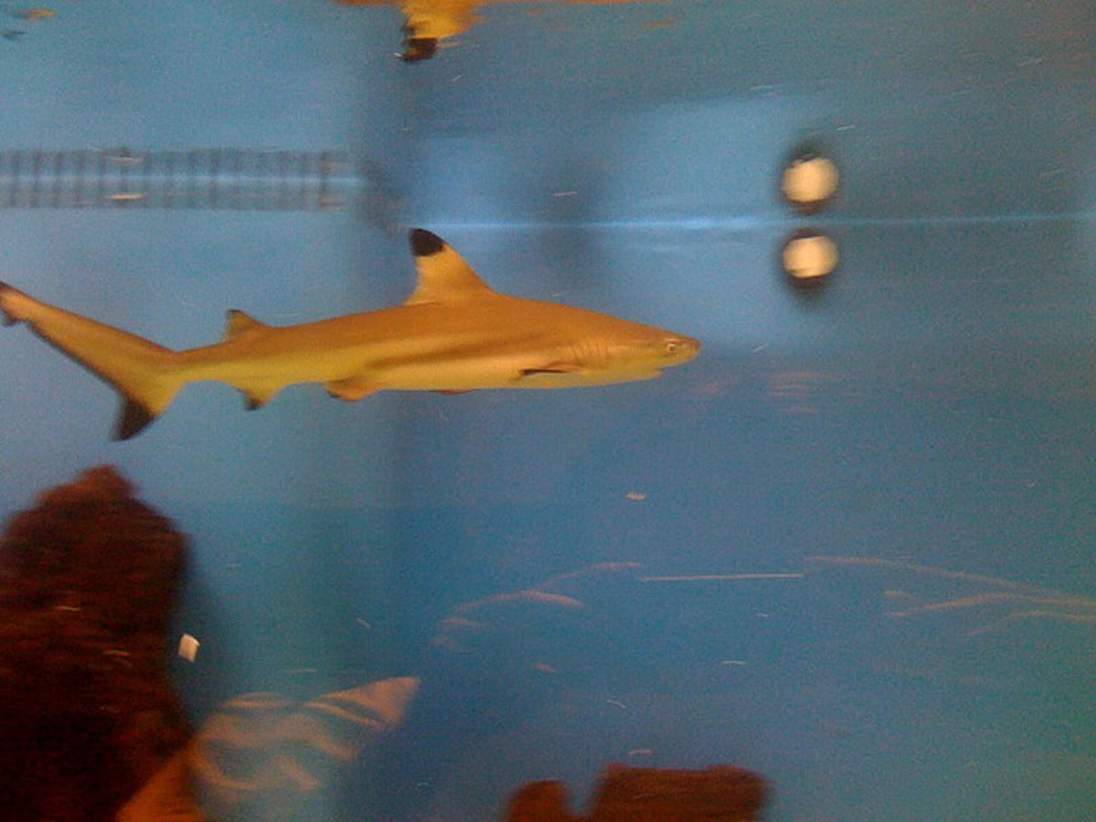 A young Blacktip shark.