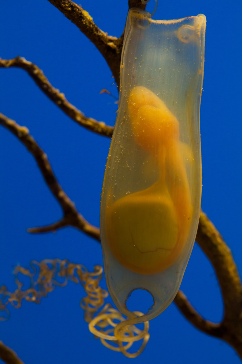 A small spotted Catshark egg sack.