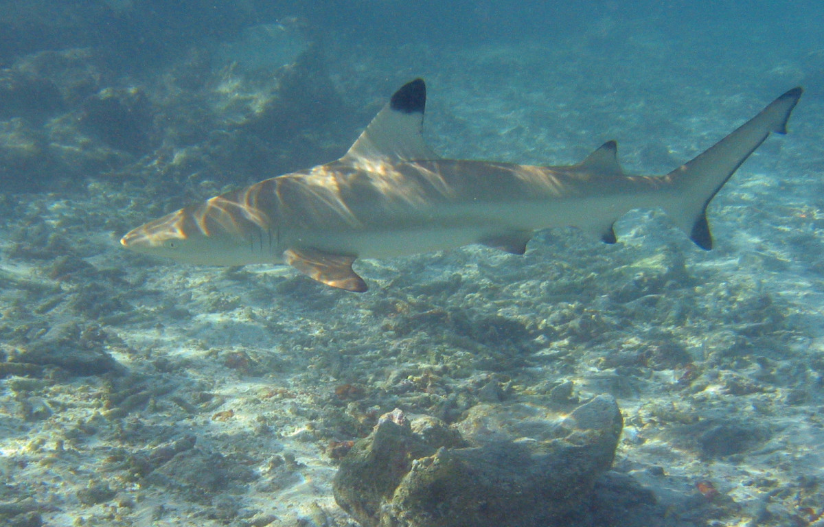 This Blacktip reef shark requires a 10,000 gallon tank!