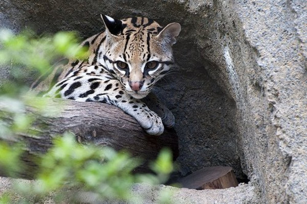 Small and elusive, ocelots are rare in private collections.