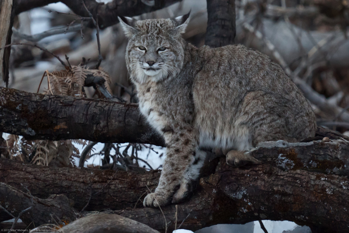 Bobcat in the wild.