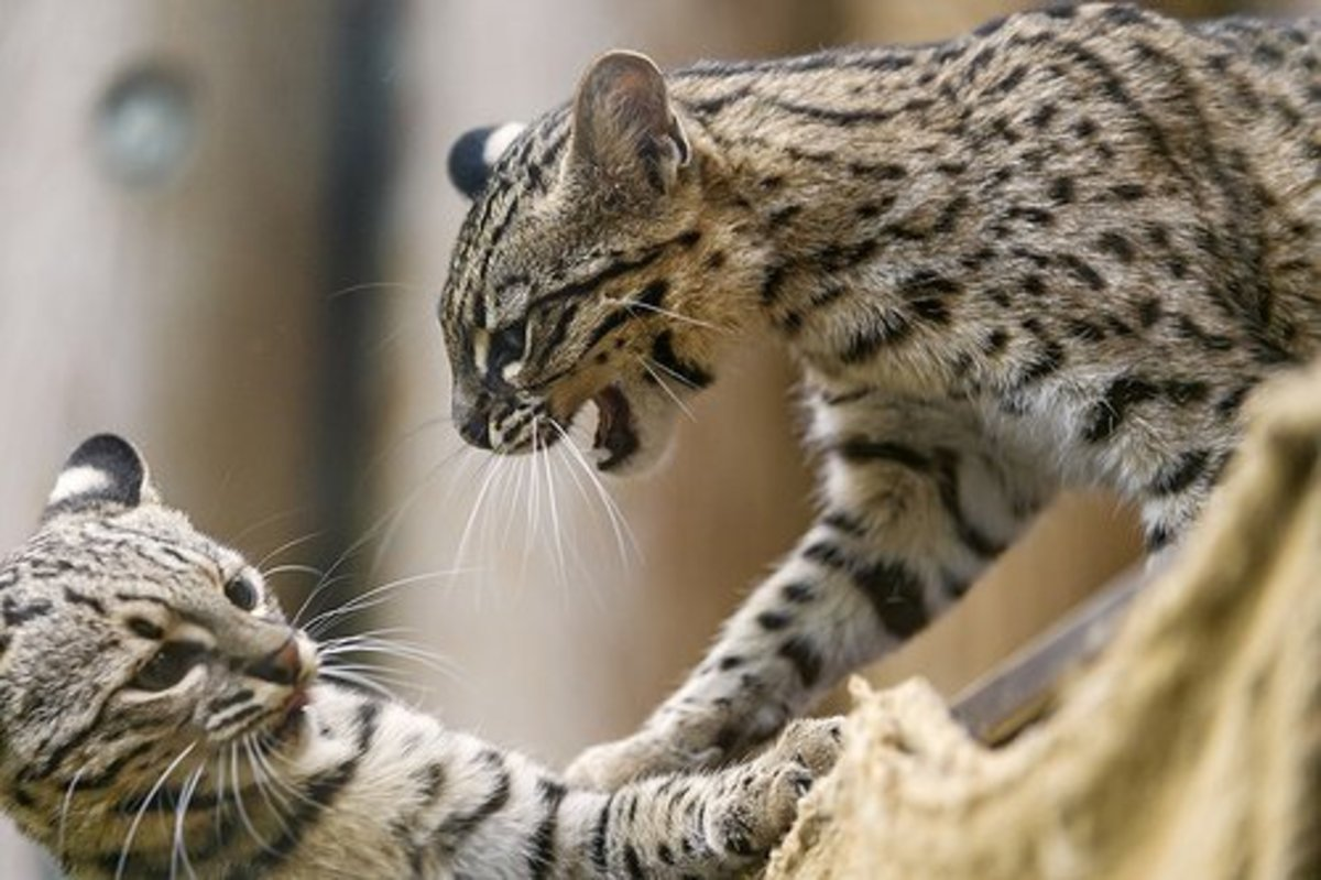 Geoffroy's cats play fighting.