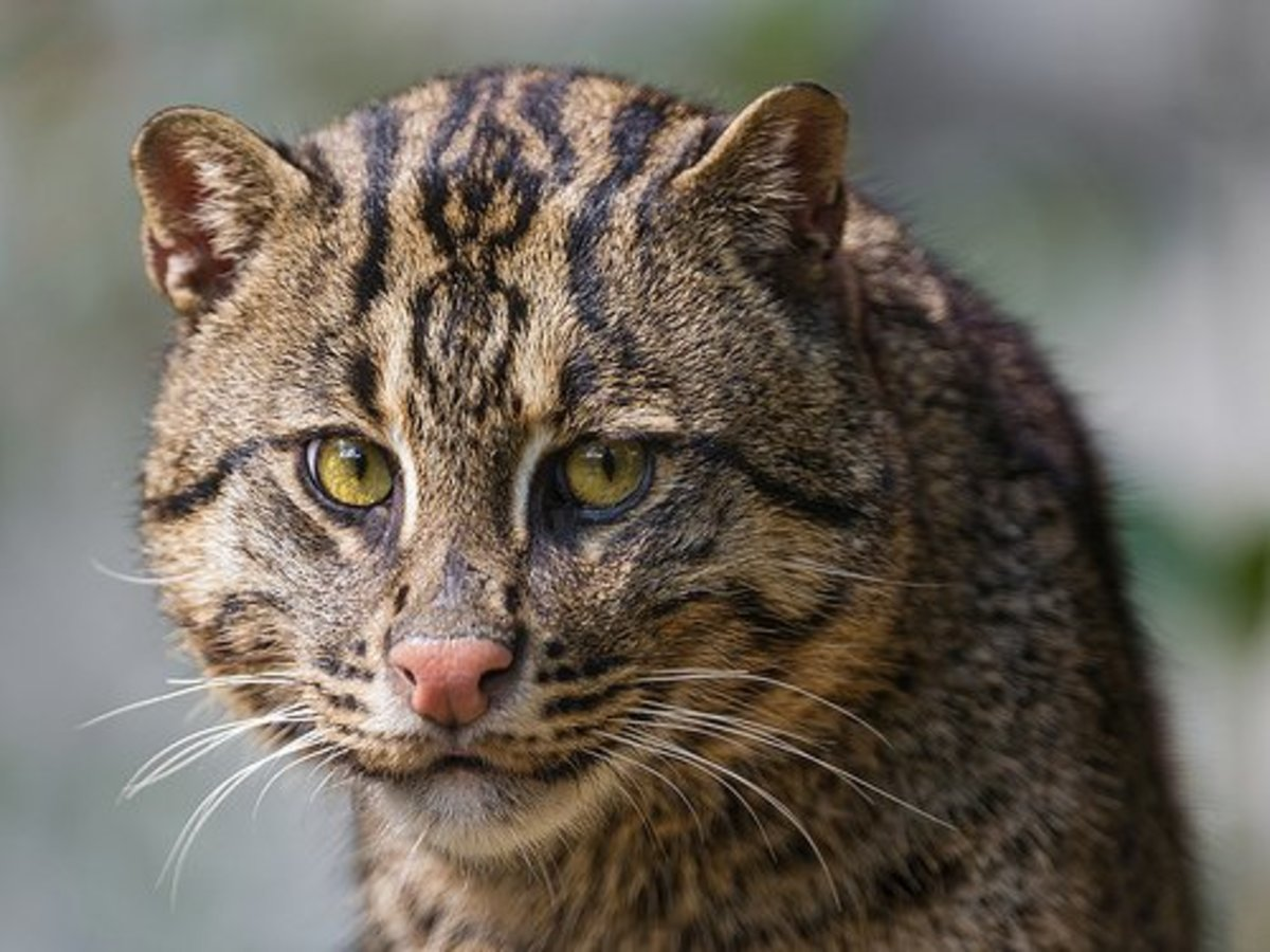Fishing cat.