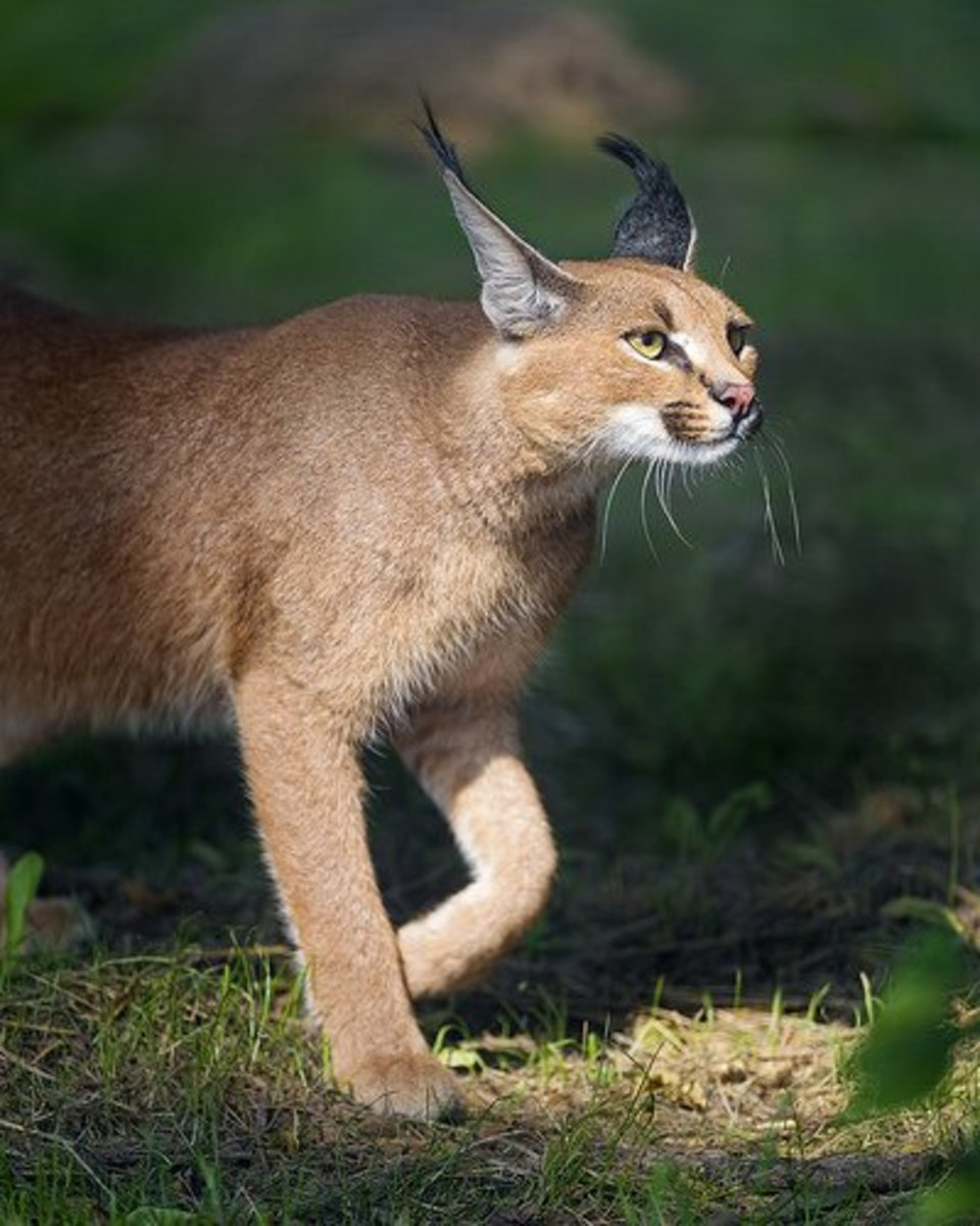 A walking caracal cat