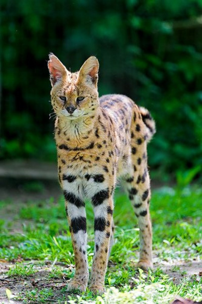 A serval taking notice.